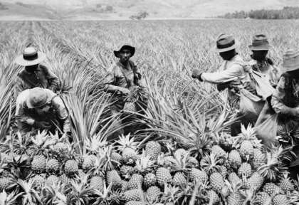 Hawaii - plantations d'ananas © Shutterstock - Everett Historical